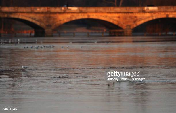 A swan struggles to cross the ice on the Serpentine in Hyde Park London as parts of Britain were placed on amber alert today as the country lies in...