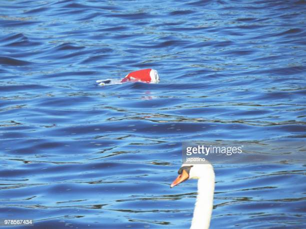 Swan swimming among garbage of plastic bags