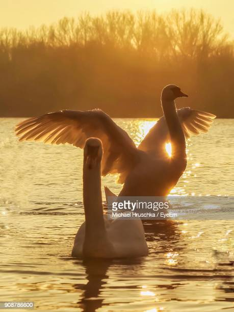 swan swimming in lake against sky during sunset - michael hruschka stock-fotos und bilder