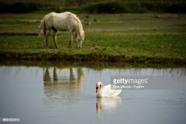 Swan Swimming In Lake With Horse In Background
