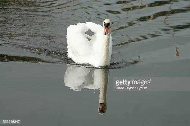 Swan Swimming In Pond