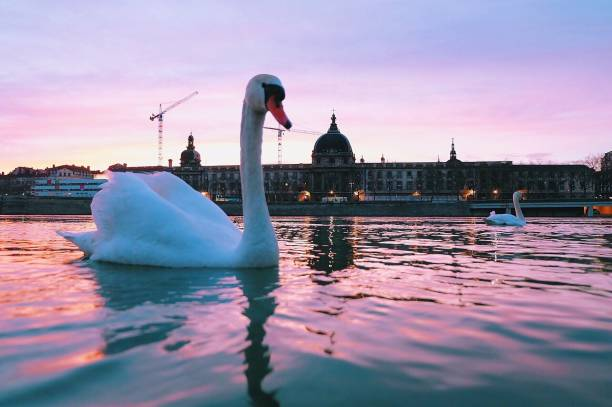 Swan Swimming In River Against Historic Building