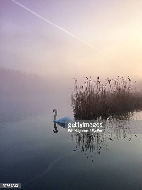 Swan Swimming On Lake Against Sky During Foggy Weather At Morning