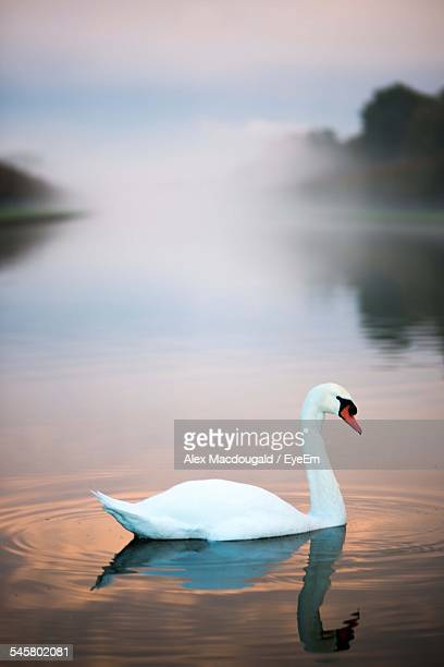 swan swimming on lake - swan stock pictures, royalty-free photos & images