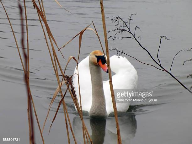 Swan Swimming On Lake