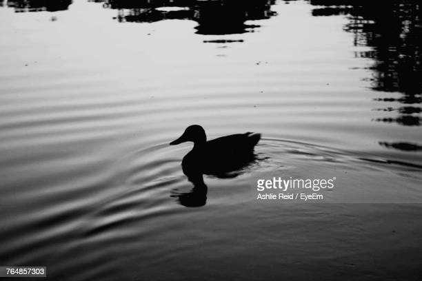 swan swimming on lake - reid,_wisconsin stock pictures, royalty-free photos & images
