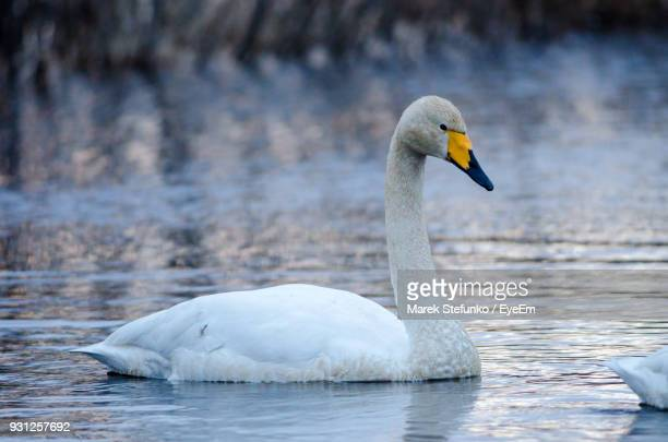swan swimming on lake - marek stefunko stock photos and pictures