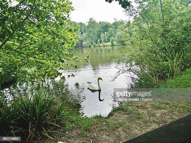 swan swimming on river in forest against sky - isabelle foret photos et images de collection