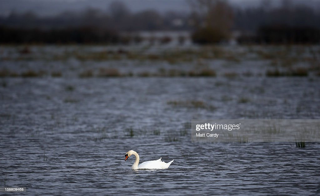 A swan swims across fields covered in flood waters surrounding the village of Muchelney, which has been cut off by flooding on the Somerset Levels, on December 30, 2012 near Langport, England. The Met Office is warning of the risk of further flooding towards the end of the year, meaning 2012 is set to be the wettest on record.