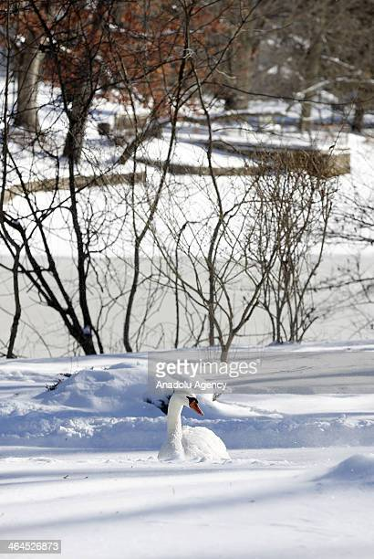 A swan swims in snowy water after the winter storm Janus Connecticut United States January 22 2014 Janus left 4 deaths and dropped over 30cm snow in...