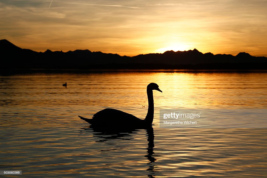 A swan swims on the Chiemsee while the sun sets behind the alps on December 27, 2015 in Seebruck, Germany. After the warm temperatures during the Christmas time, weather experts forecast much colder temperatures for the upcoming days.