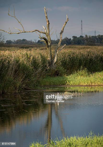 A swan swims on the river Oder in the national park Unteres Odertal on October 02 2016 in Gartz Germany