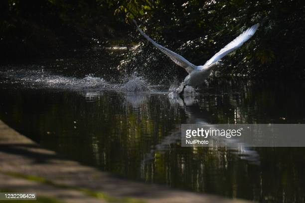 Swan takes off at a pond in St. Stephen's Green, Dublin, during the COVID-19 lockdown. On Tuesday, 13 April 2021, in Dublin, Ireland.