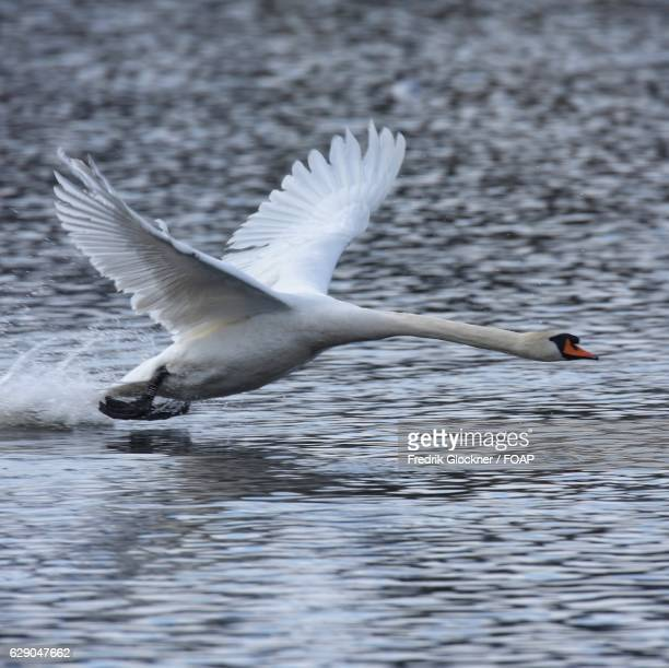 Swan takes off from lake
