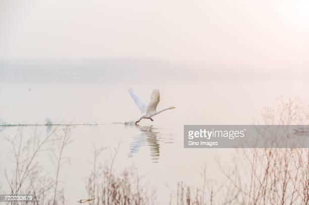Swan taking flight from calm lake at sunrise, Sanmenxia, Hennan, China