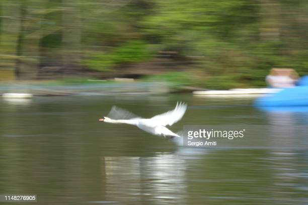 Swan taking flight on a pond