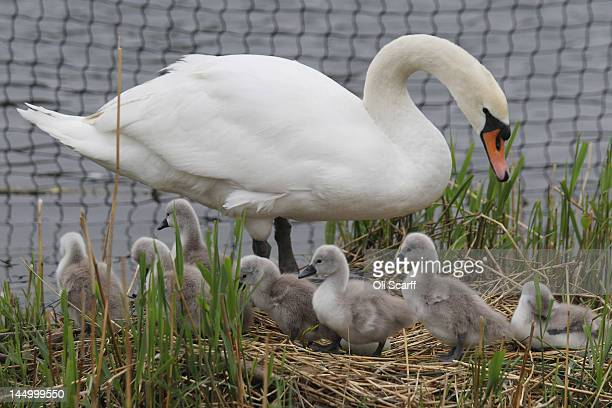 A swan tends to her cygnets in the Serpentine lake in Hyde Park on May 22 2012 in London England Following a cool overcast morning temperatures in...