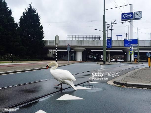 Swan Walking On Road Against Cloudy Sky