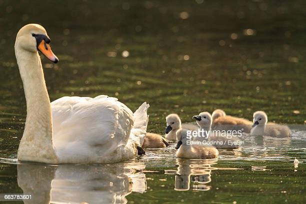 Swan With Cygnets Swimming In Lake