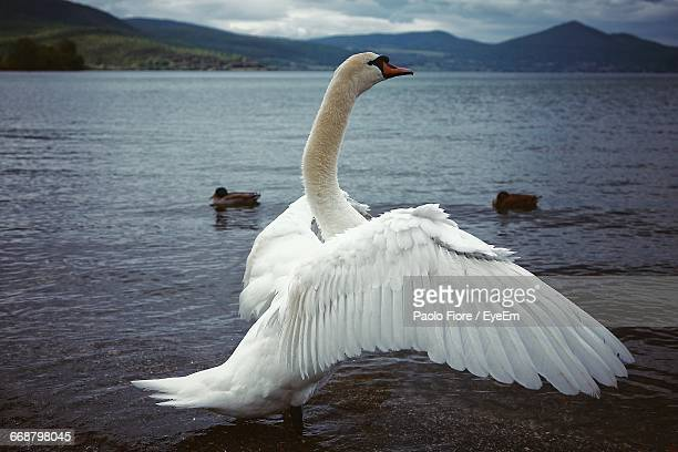 swan with spread wings against ducks in lake - 翼を広げる ストックフォトと画像