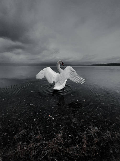 Swan With Spread Wings In Lake