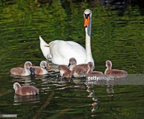 swanfamily III