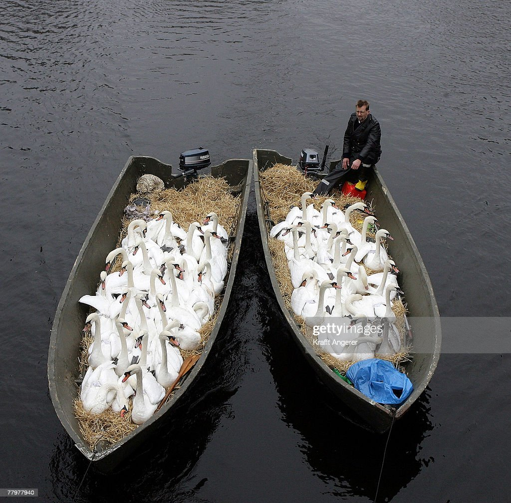 Swanfather Olaf Niess drives his swans in a boat over the Alster river to the wintering grounds in Hamburg-Winterhude on November 19, 2007 in Hamburg, Germany.