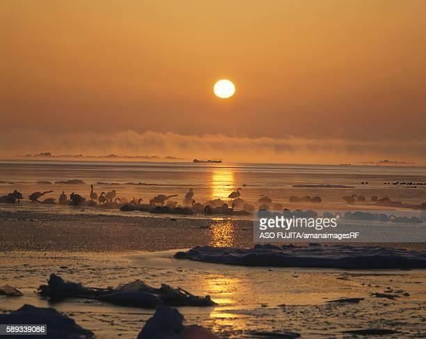 swans amid drift ice at sunrise, odaito, hokkaido, japan - drift ice stock pictures, royalty-free photos & images