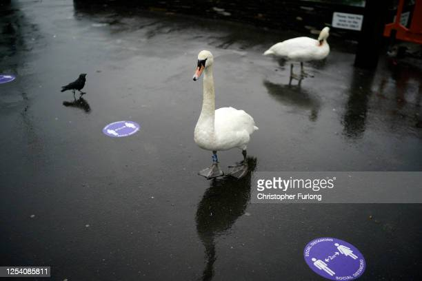 Swans and birds walk past Covid-19 social distancing signs at Bowness jetty on July 03, 2020 Bowness-on-Windermere, United Kingdom. Despite a gloomy...