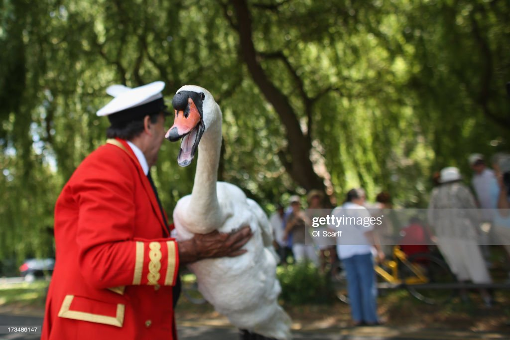 Swans and cygnets are caught, measured, assessed and tagged on the River Thames during the annual Swan Upping ceremony on July 15, 2013 in London, England. Swan Upping is the annual census of the River Thames' swan population is led by David Barber, The Queens Swan Marker, it begins on July 15, 2013 in Sunbury and ends at Abingdon, Oxfordshire on July 19, 2013. The Queen's Swan Marker and the accompanying Swan Uppers of the Vintners' and Dyers' Livery Companies use six traditional Thames rowing skiffs in their five-day journey upstream to ensure that the swan population is maintained.