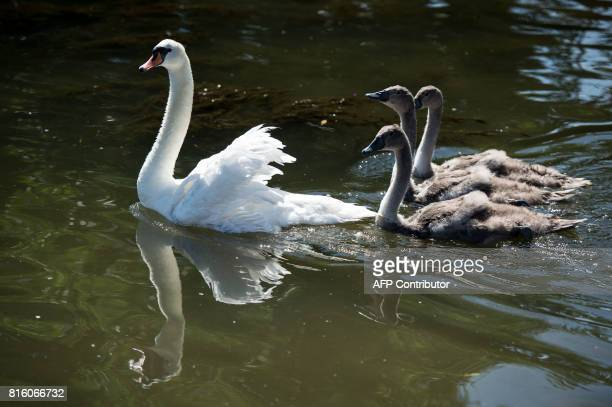Swans and cygnets are released after being weighed documented and measured during the annual Swan Upping Census on the River Thames at Staines...