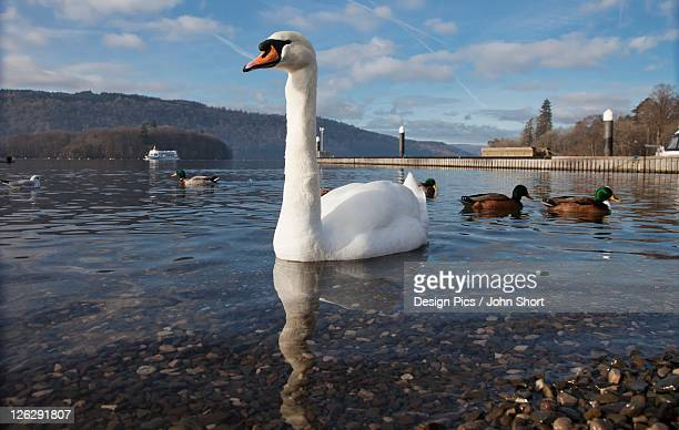 swans and ducks on lake windermere