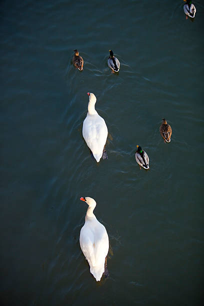 Swans and ducks on Main River.