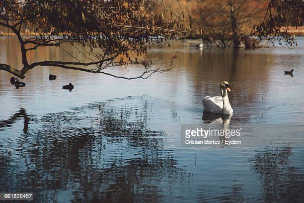 swans and ducks swimming in lake - bortes cristian stock photos and pictures
