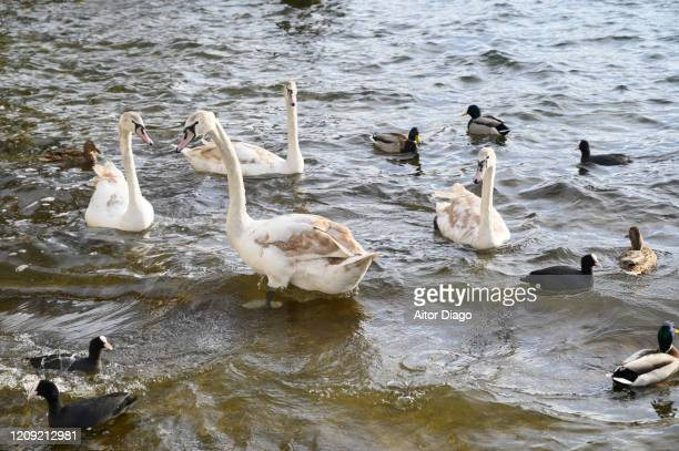 swans and ducks swimming over the water of a lake on. germany. - grace gail stock pictures, royalty-free photos & images