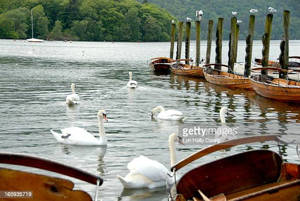 swans and rowing boats on lake windermere, uk - lyn holly coorg photos et images de collection