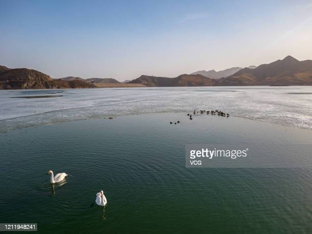 Swans and some other migratory birds swim at Hondlon reservoir on March 11, 2020 in Baotou, Inner Mongolia Autonomous Region of China.