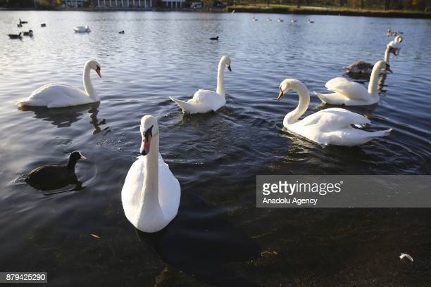 Swans are seen at Hyde Park during the last days of autumn on October 26 2017 in London England