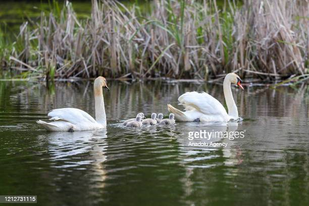 Swans are seen at the Stony Point Battlefield historical landmark and state park which is seen quite during Covid-19 pandemic in New York, United...
