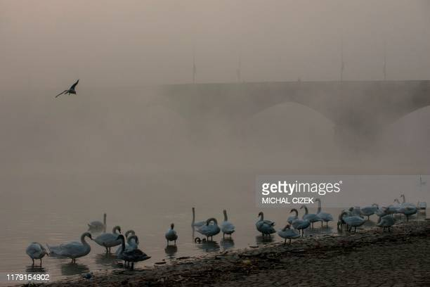 Swans are seen on the bank of the Vltava river on a foggy morning on October 31 2019 in Prague