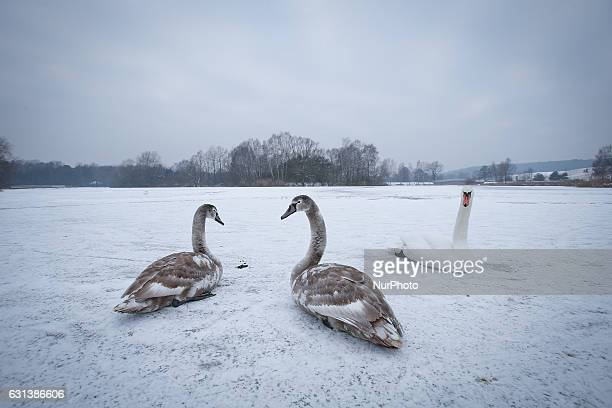 Swans are seen resting on a recently frozen part of a lake in Myslecinek park on 9 January 2017