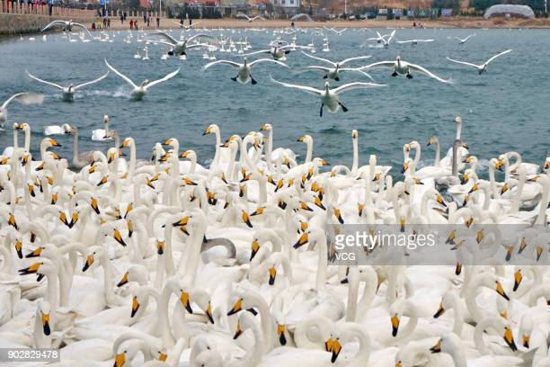 Swans are seen settle in Rongcheng Swan National Nature Reserve on January 8 2019 in Weihai Shandong Province of China Thousands of swans come to...