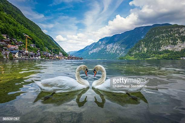 Swans at Hallstatt
