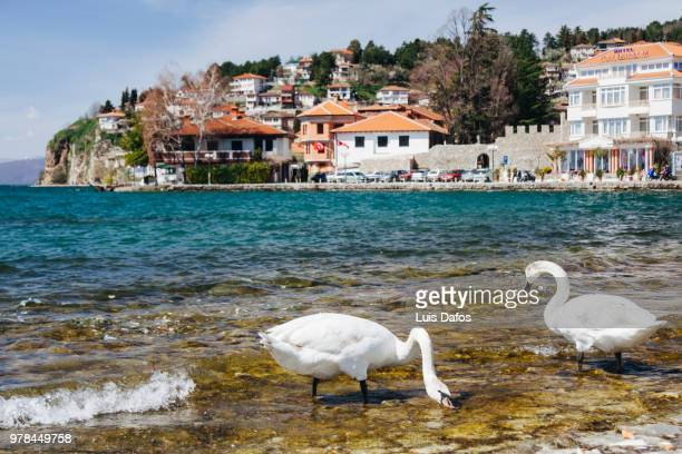 swans at lake ohrid - macedonië land stockfoto's en -beelden