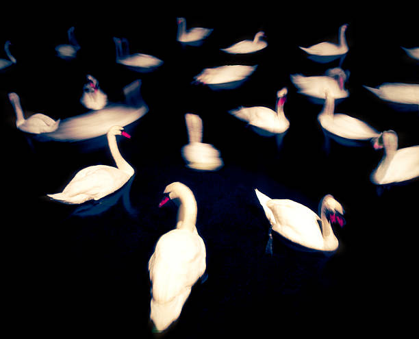 Swans at Night Time