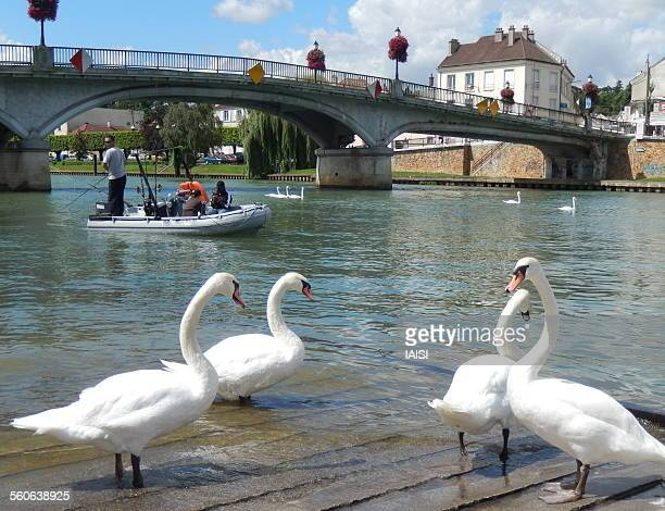 swans, bridge and river in ile-de-france - marne stock photos and pictures