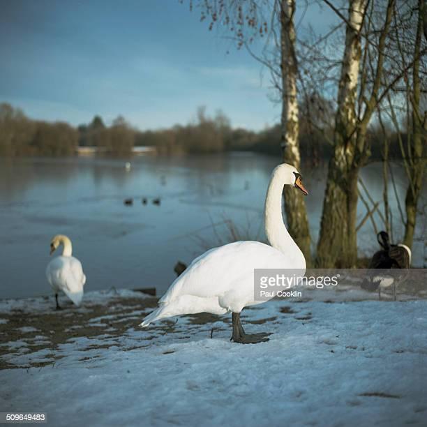 Swans by a frozen lake