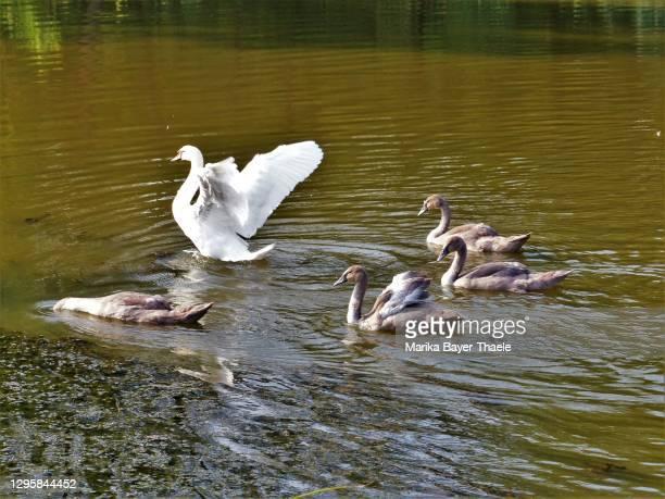 fünf jungschwäne bei einem gemeinsamen ausflug