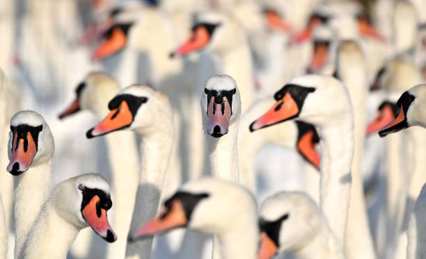 GBR: Biennial Swan Census Takes Place At Abbotsbury Swannery