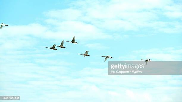 Swans Flying In Mid-Air Against Cloudy Sky